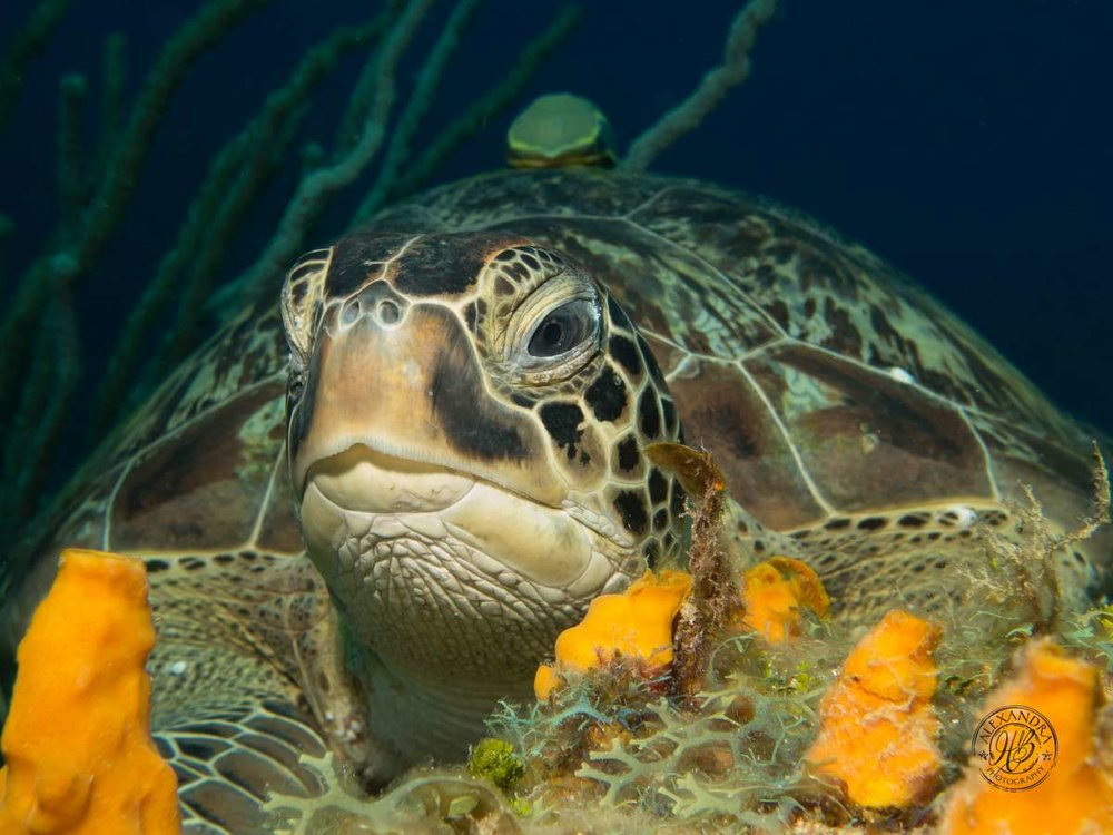 Green Turtle Collection (1 of 1).jpg