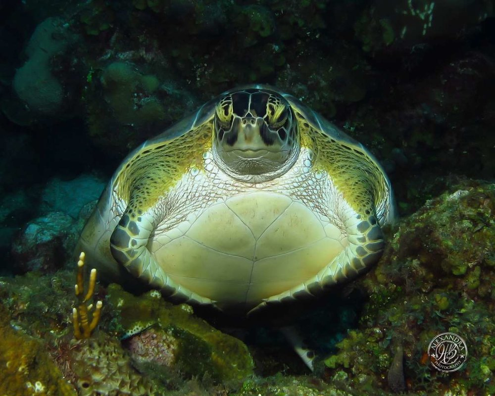 Green turtle sleeping (1 of 1).jpg