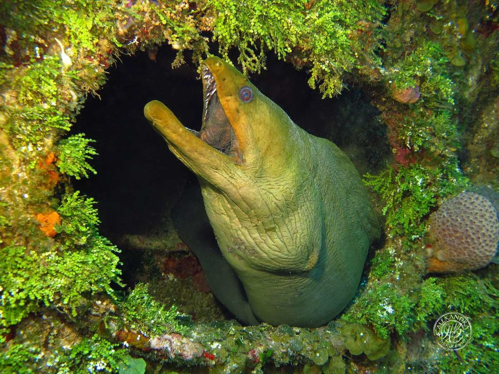 Green Moray eel in wreck  (2013) (1 of 1).jpg