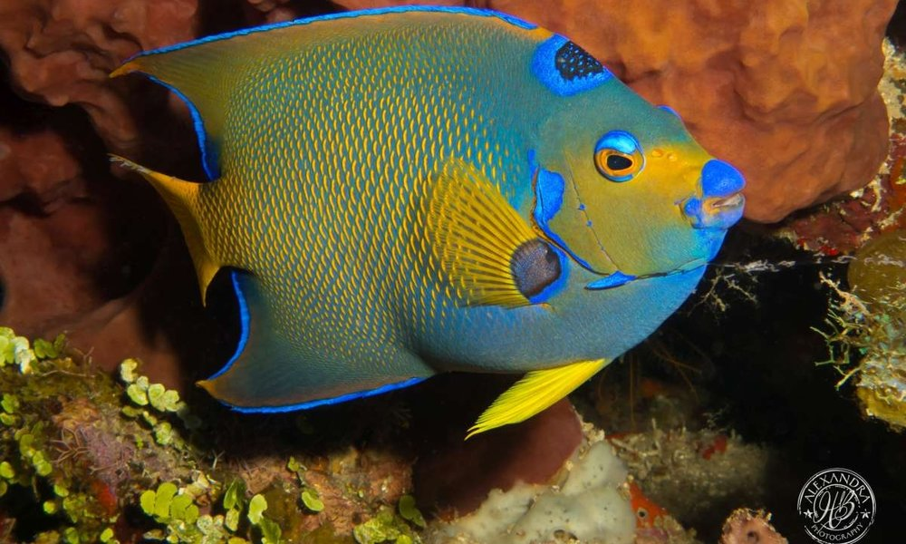 a picture of a queen angelfish taken by a coconut tree diver that was diving at the divesite hole in the wall. This is taken in Roatan, Honduras.