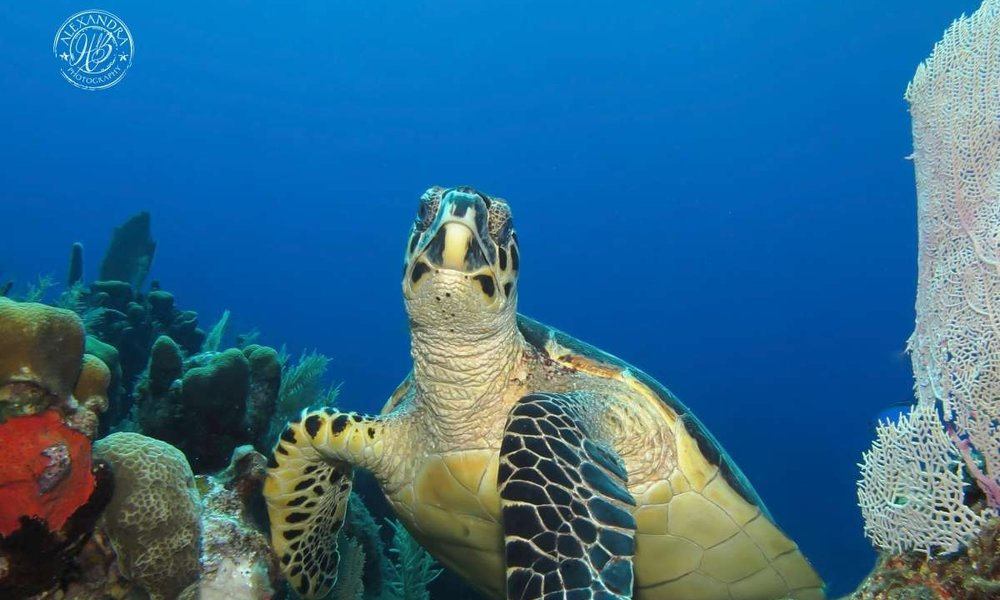 This coconut tree dive guest while scuba diving has taken a picture of a hawksbill turtle on the reef system of Roatan, Honduras.