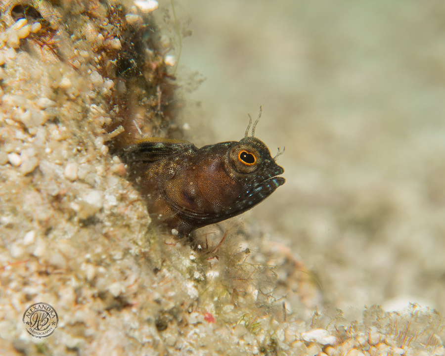 Sailfin Blenny, Deep Turtle Crossing Dive Site  Photo courtesy of Alexandra Harper-Graham  www.alexandrahbphotography.com