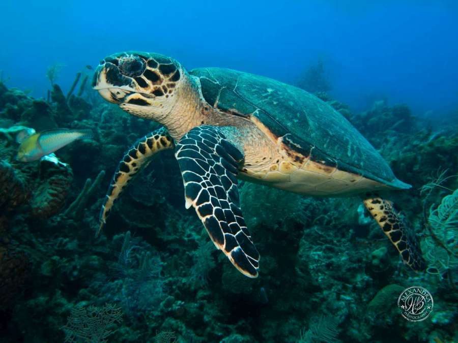 turtle with scuba diver in roatan at coconut tree divers