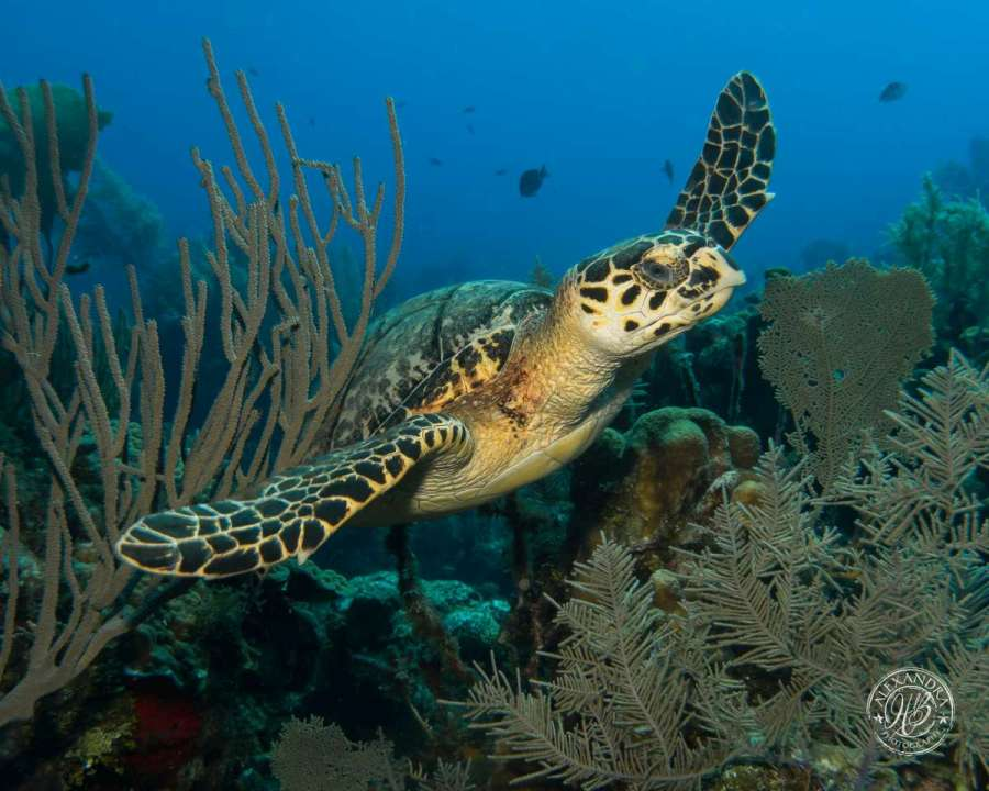 a hawksbill turtle swimming along side a coconut tree diver in roatan, honduras.