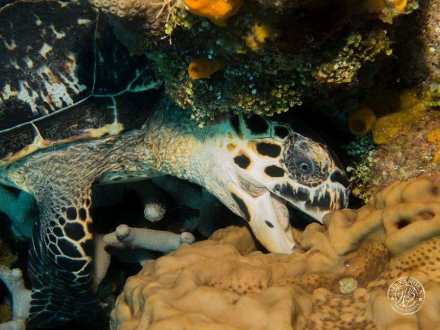 a hawksbill turlte eating some coral with a coconut tree scuba diver in ROATAN