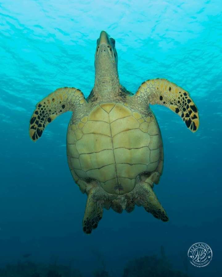 a hawksbill turtle swimming over head a coconut tree diver scuba diver in roatan