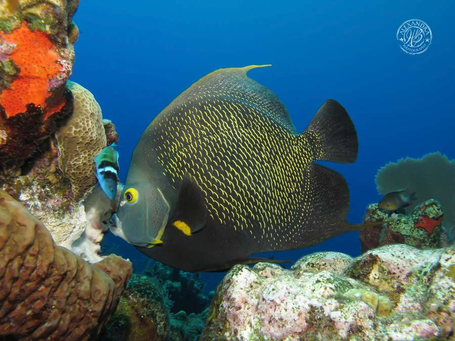 french angel fish spotted by coconut tree divers while scuba diving