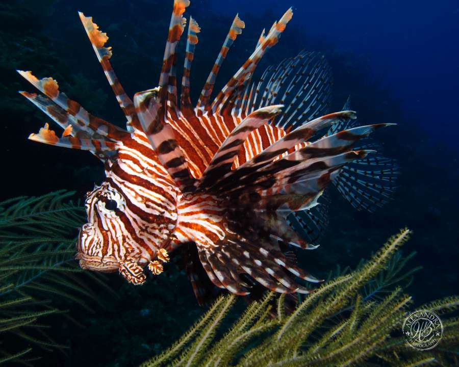 a lionfish spotted by a scuba diver diving with coconut tree divers in west end, roatan