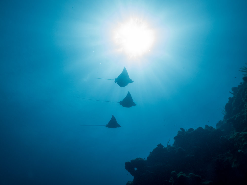 Three Eagle rays rent a camera take home memories for diving in Roatan