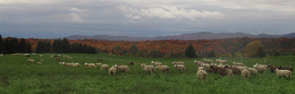The ewes grazing alfalfa field, looking west