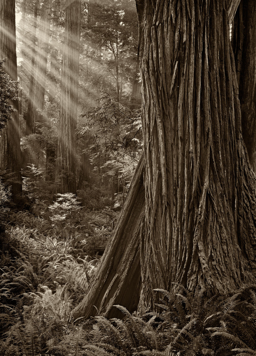 Morning-In-A-Redwood-Grove.jpg