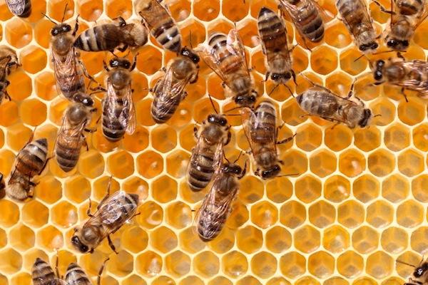 honeybees-small.jpg
