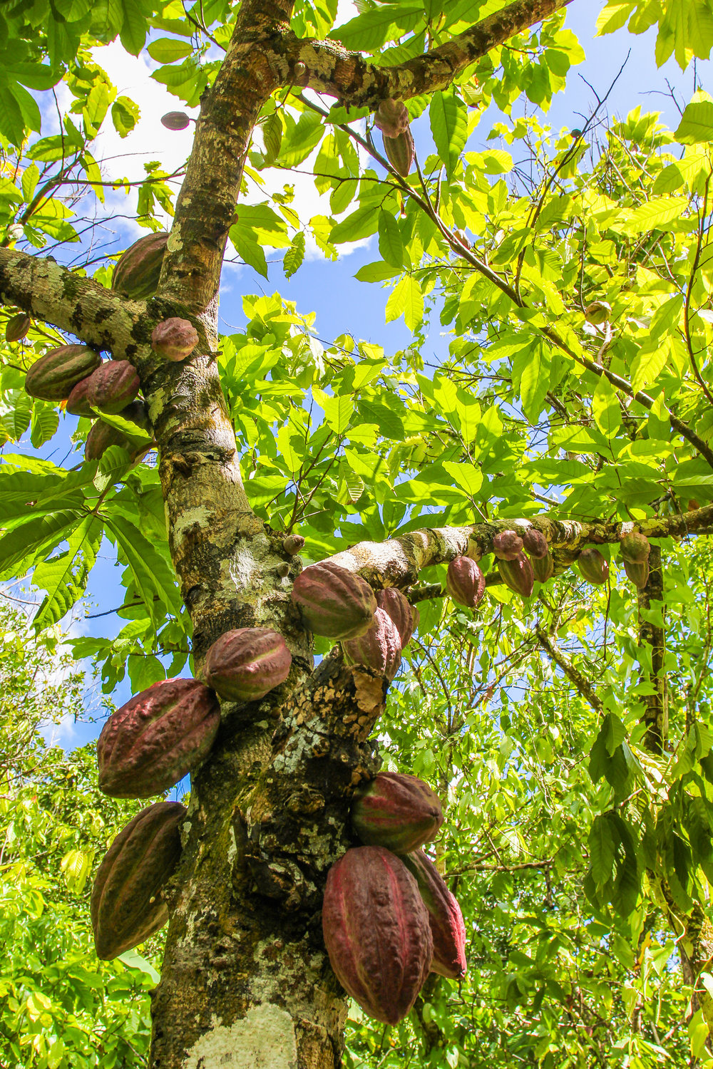 A cacao tree in the famous cacao-producing Toledo District of southern Belize.