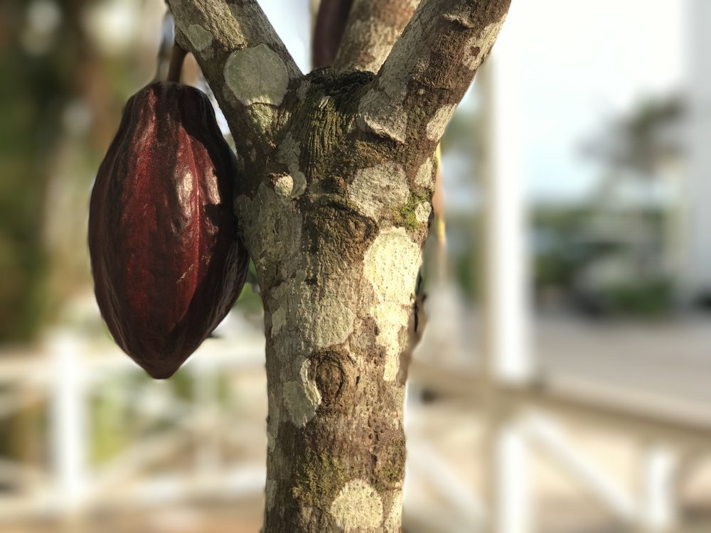 A cacao pod grows on the cacao tree on the porch of Mahogany Chocolate, located in downtown Mahogany Bay Village.