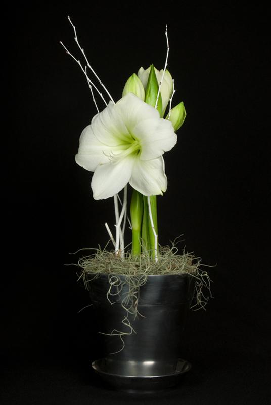 Amaryllis - White