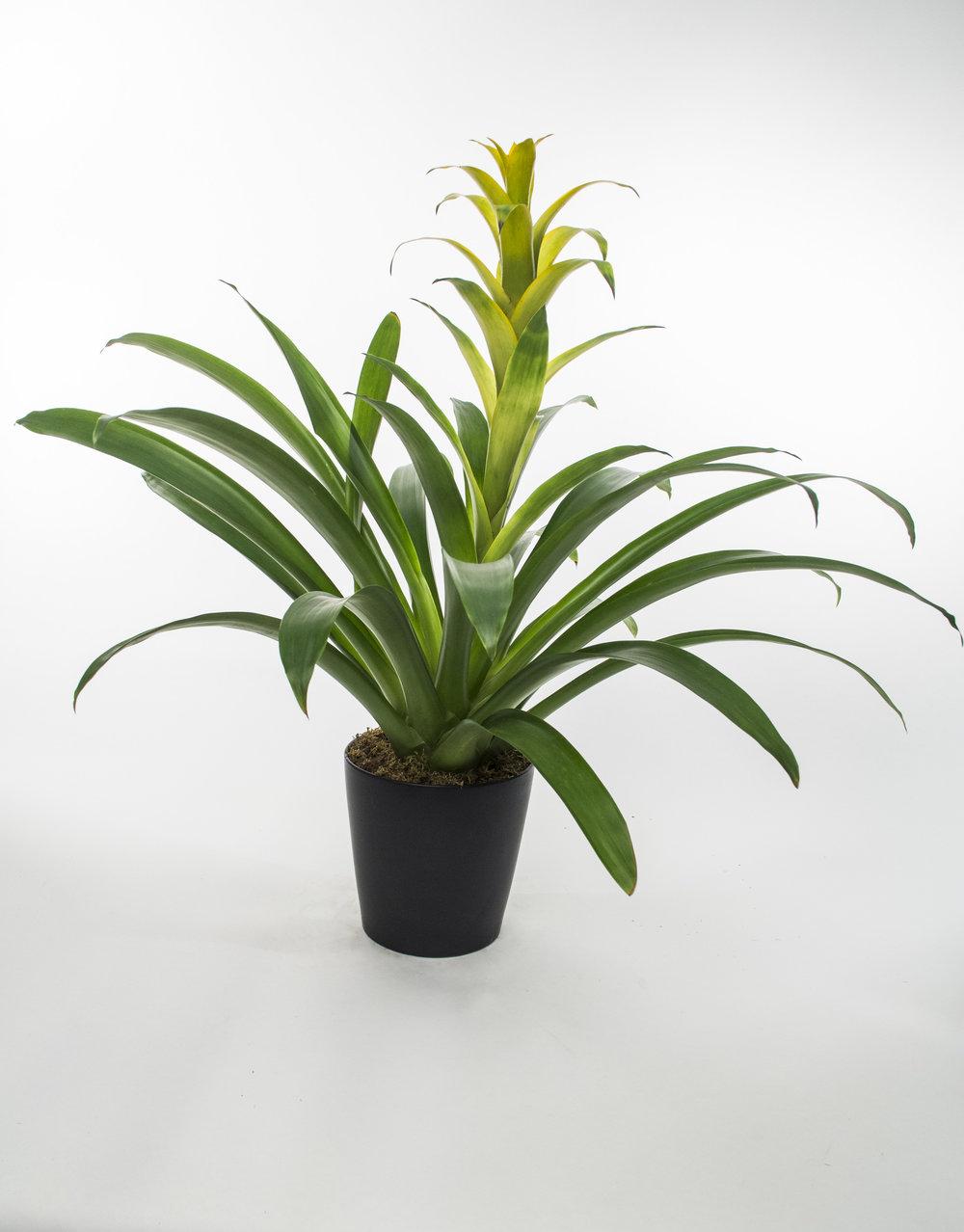 Bromeliad 4
