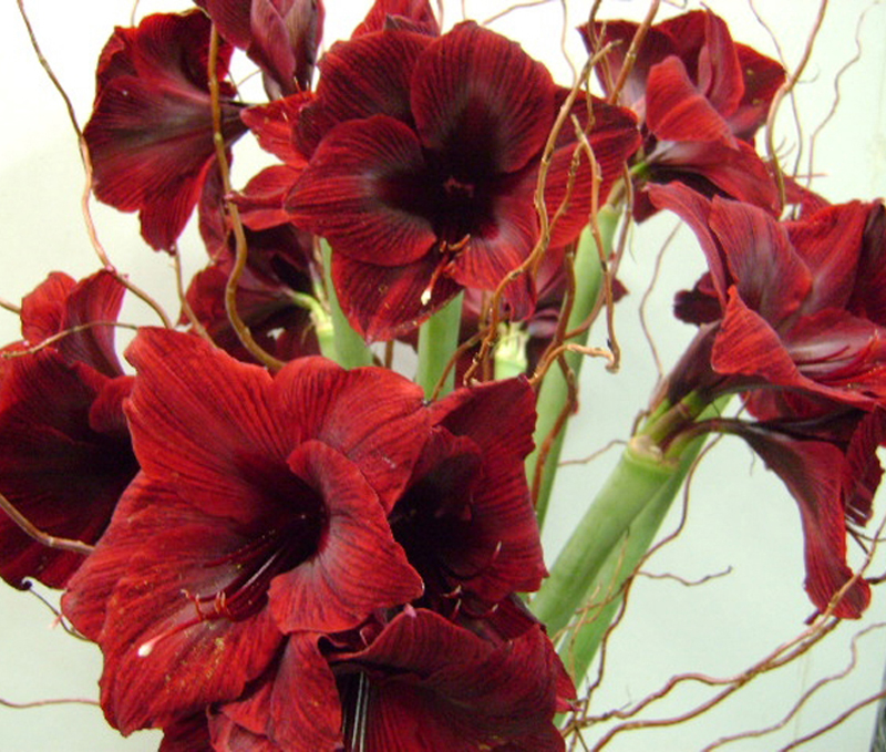 Amaryllis - Red