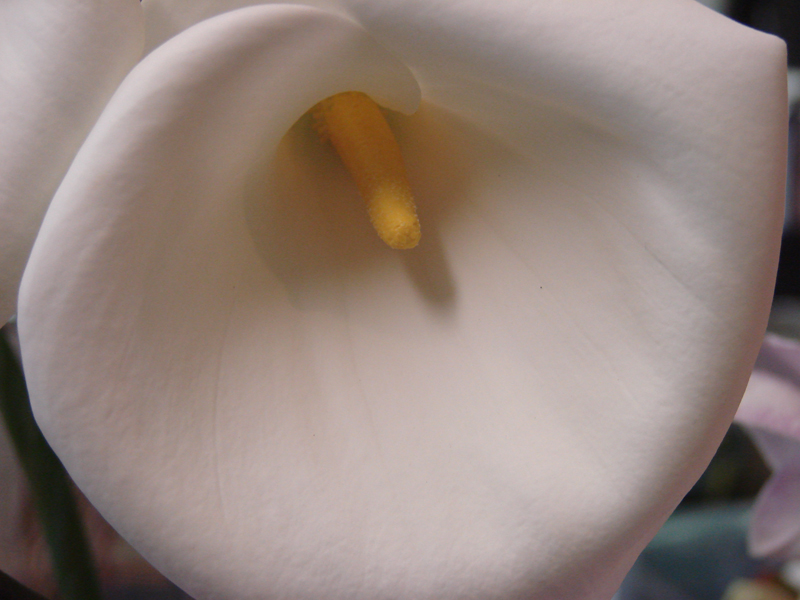 Calla Lily - Open Cut