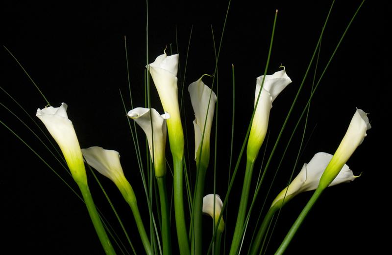 Calla Lily - White