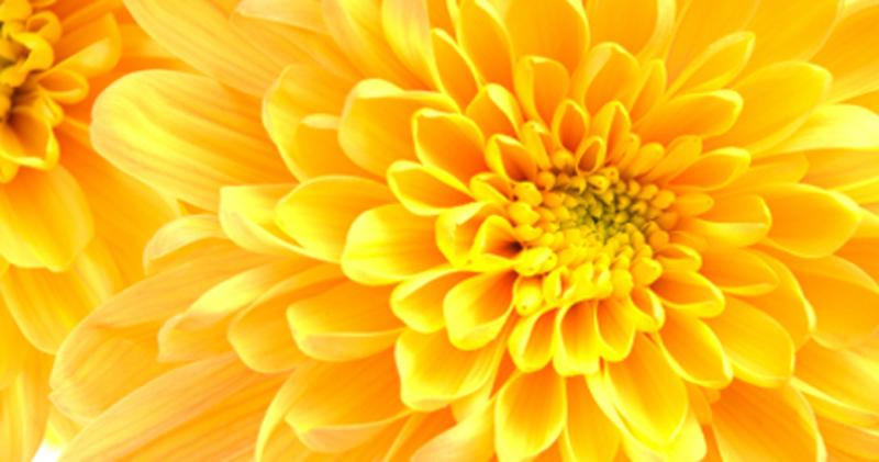 Dahlia - Yellow