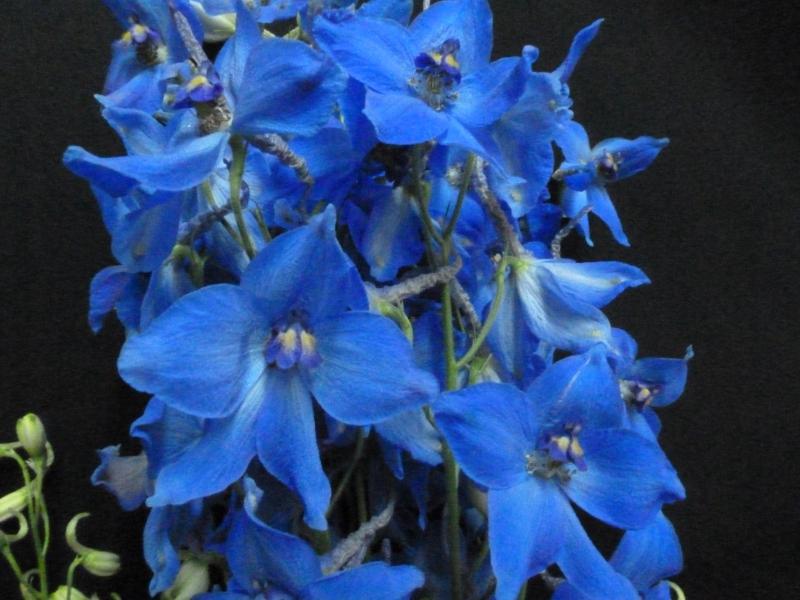 Delphinium - Blue