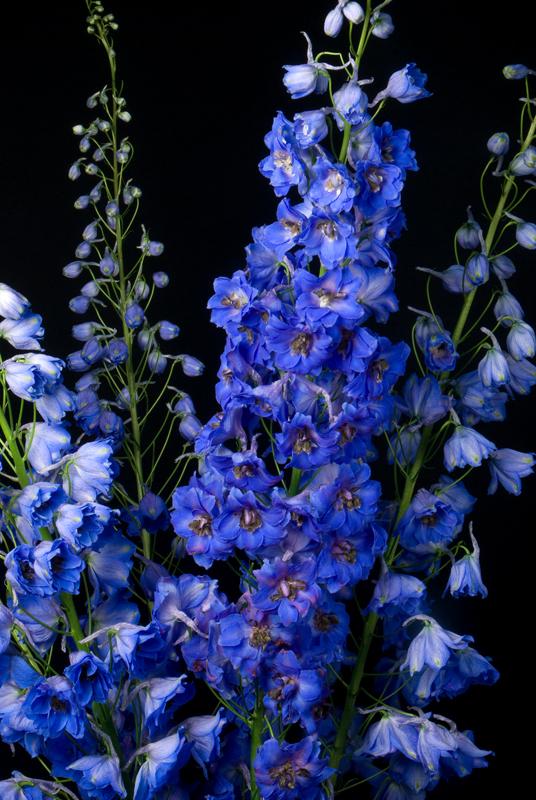 Delphinium - Hybrid Dark Blue
