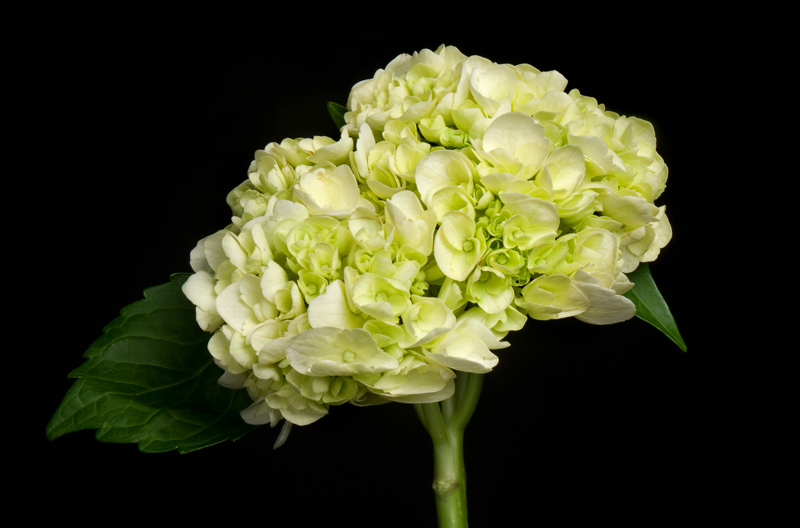 Hydrangea - Green