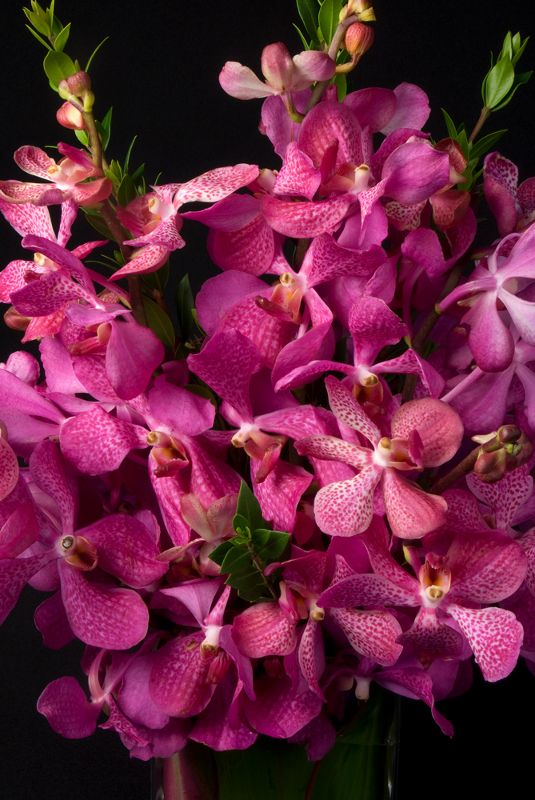 Mokara Orchid - Fuscia