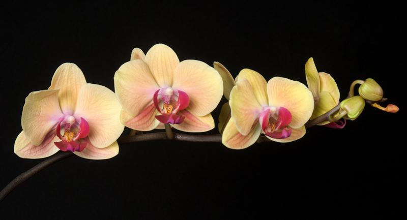 Phalaenopsis Orchid - Yellow