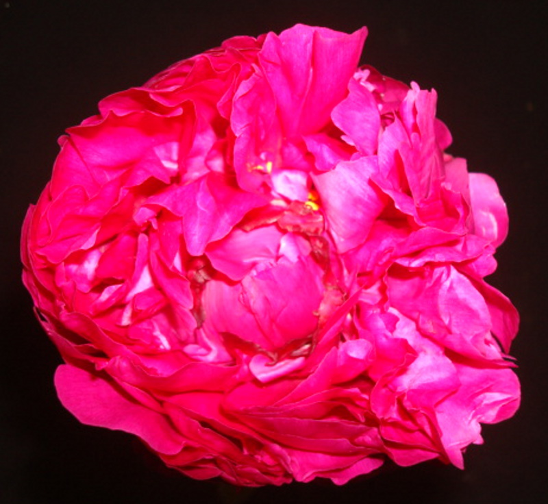 Peony - Coral Pink