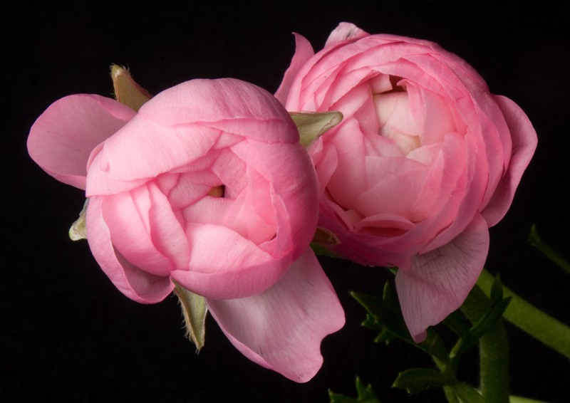 Ranunculus - Pink Closed