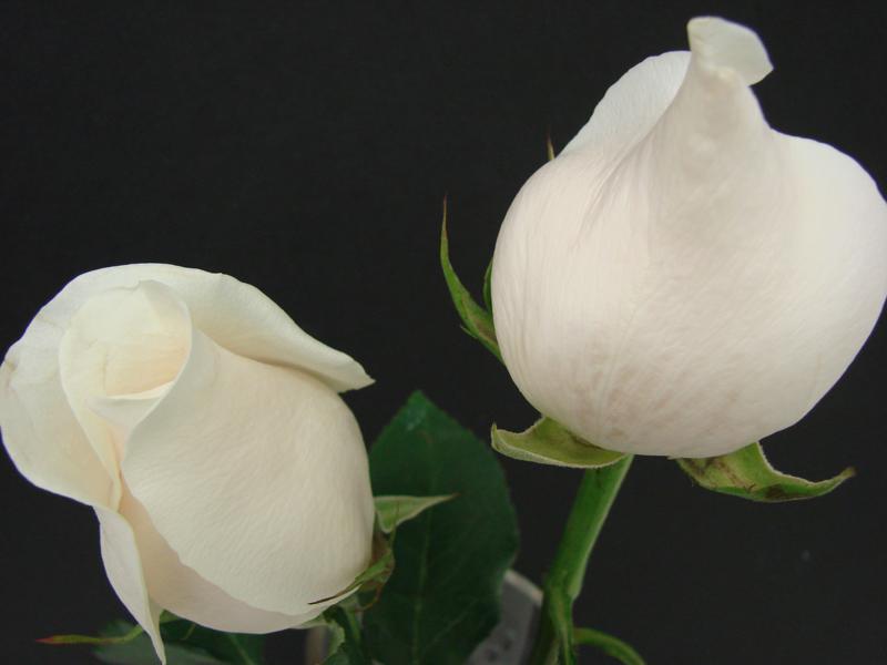 Rose - White Tibet