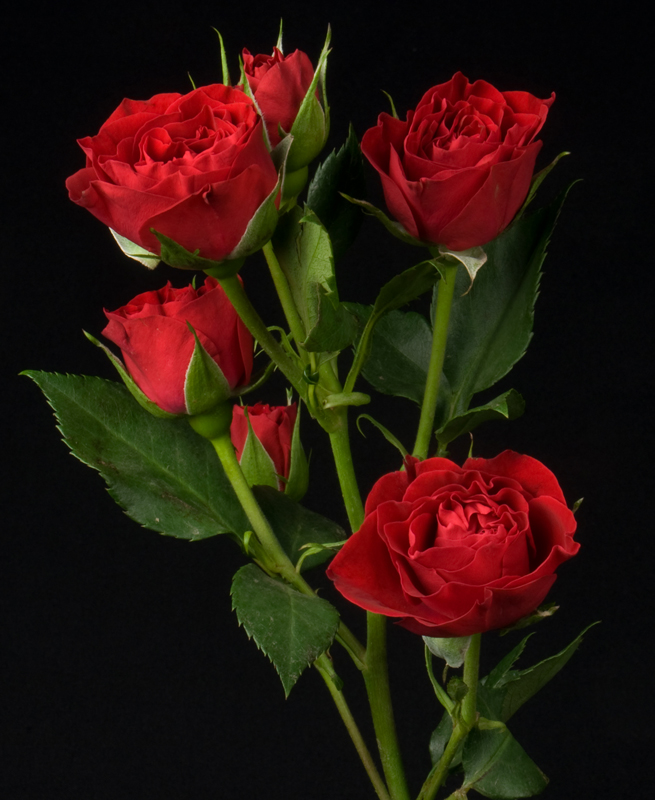 Spray Rose - Red Scarlet