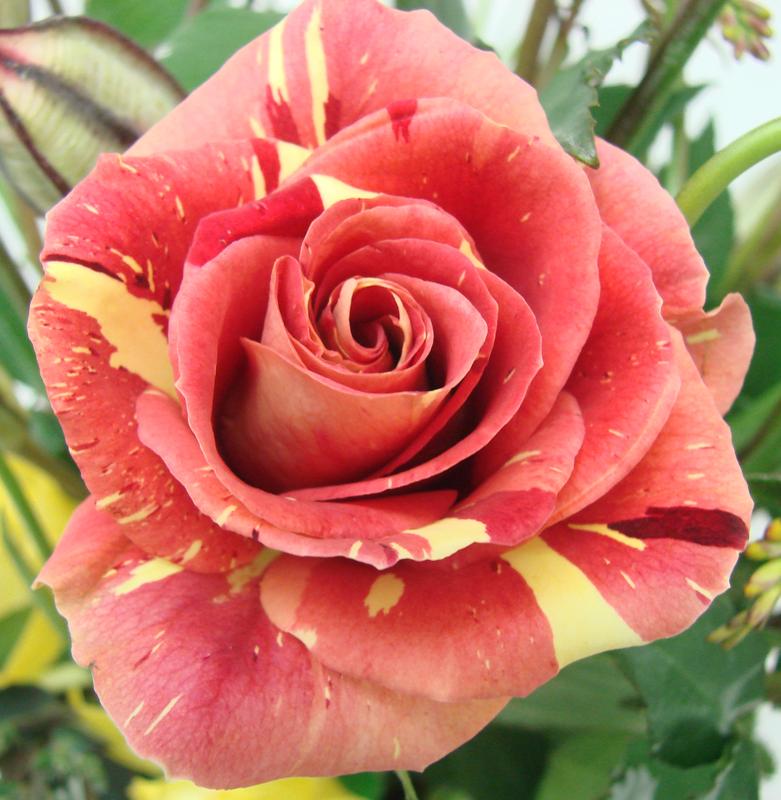 Rose - Bicolor 3