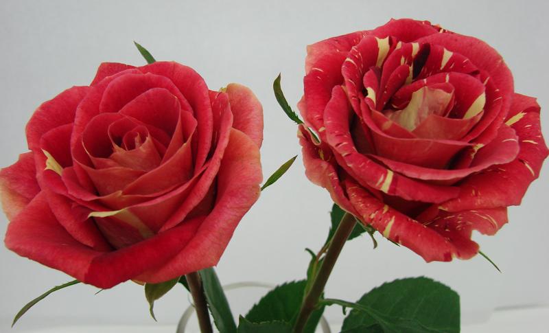 Rose - Bicolor 1