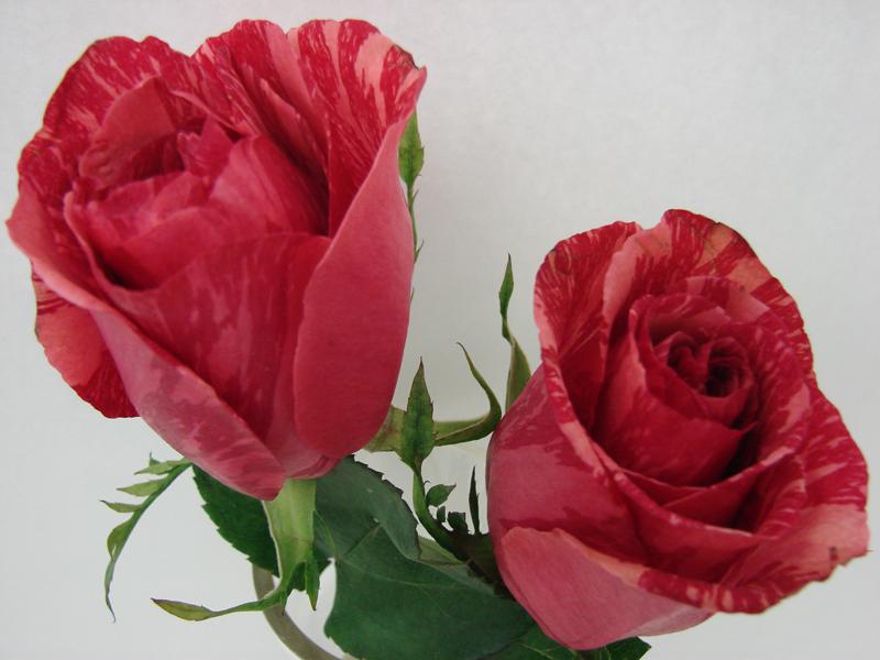 Rose - Bicolor 4