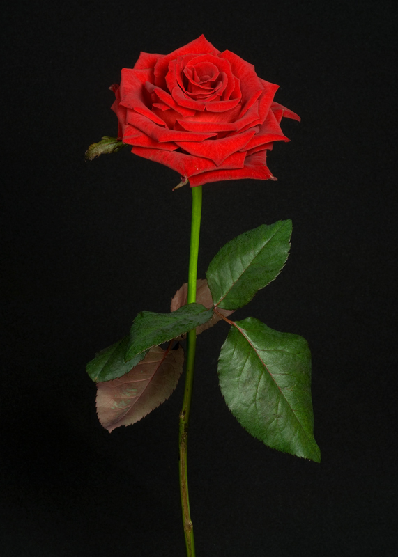 Rose - Forever Young