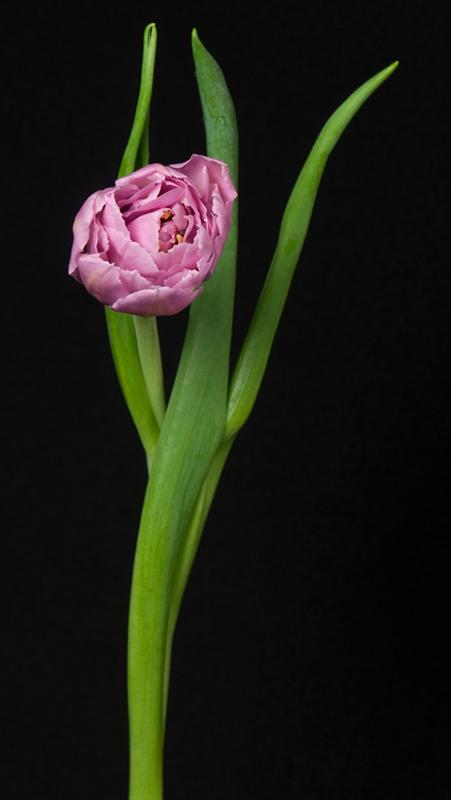 Tulip - Lavender