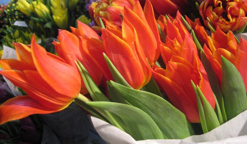 Tulips - Orange