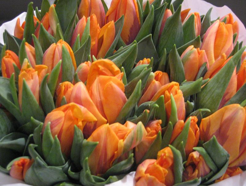 Tulips - Light Orange