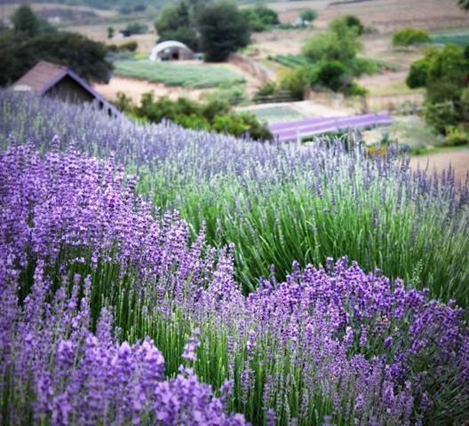 LavenderFarm_img_2700.jpg