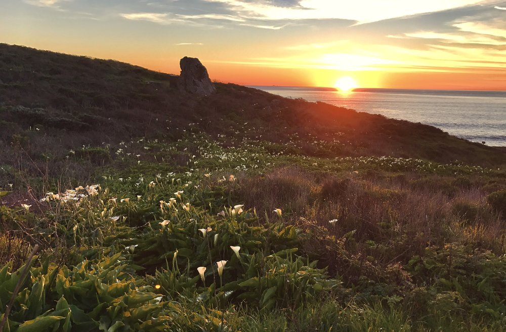 Sun setting on a field of calla lilies, Steep Ravine, California
