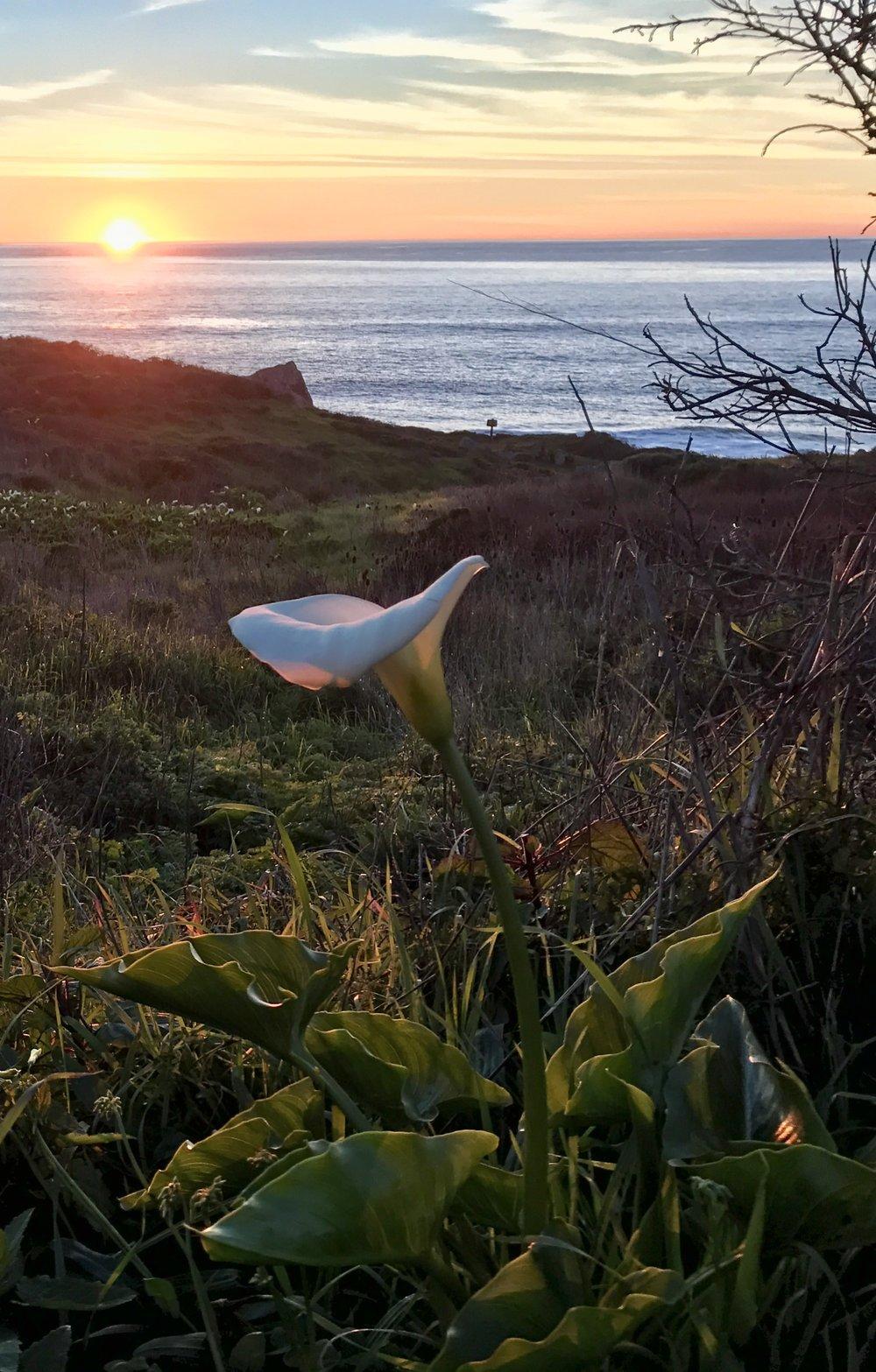 Calla lily, Steep Ravine, California