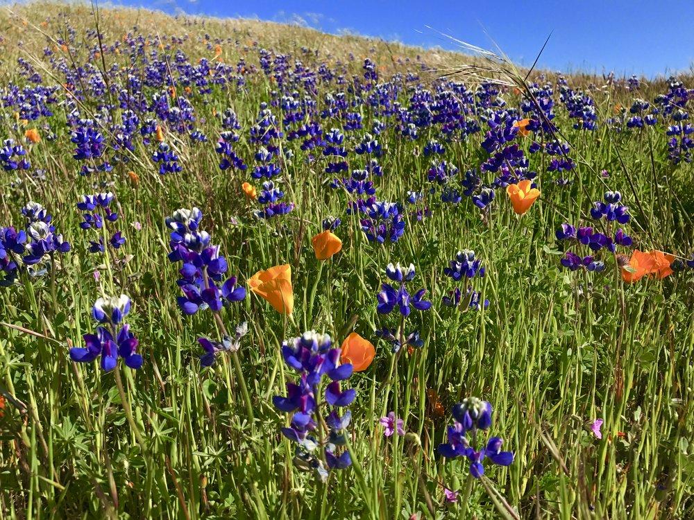 California poppies and lupine,Mt. Tamalpais State Park