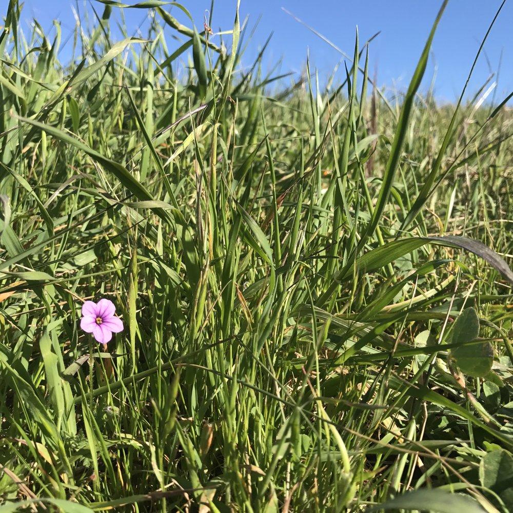 Tiny flower hidden in knee-tall grass, Mt. Tamalpais State Park