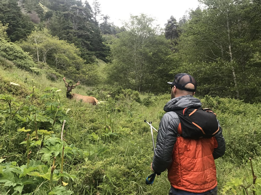 "Clearing Thule elk from the ""trail,""  Lost Coast Trail, California"
