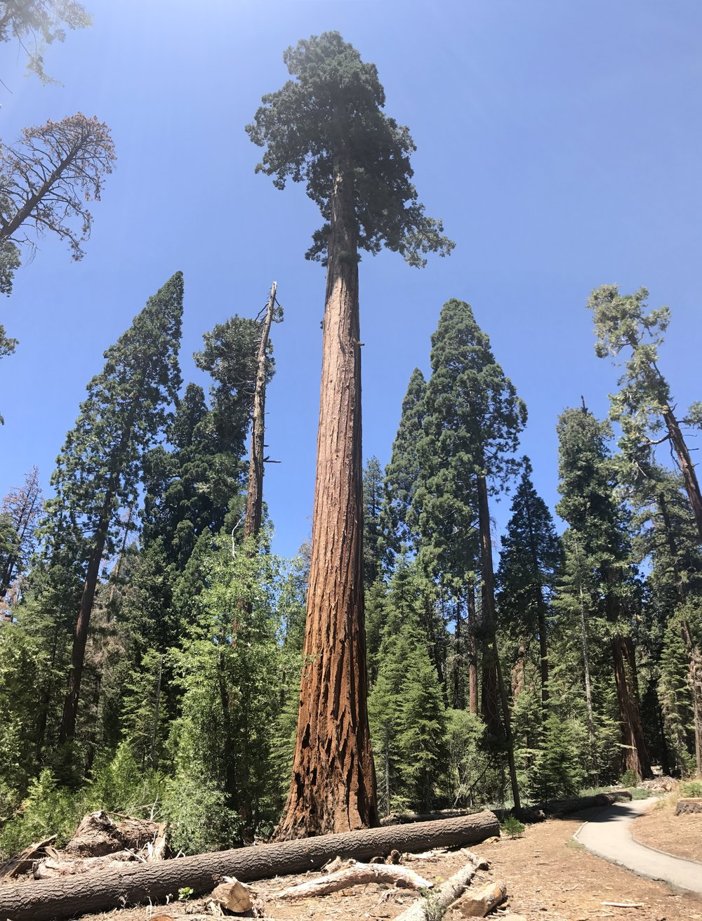 Giant Sequoia, Sequoia National Forest, California