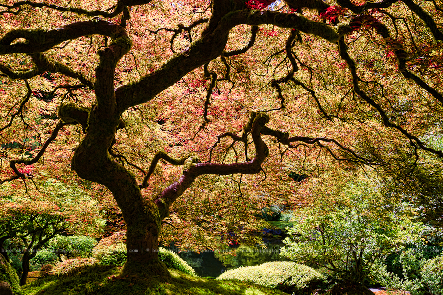 Japanese Maple, Japanese Garden, Portland, Oregon