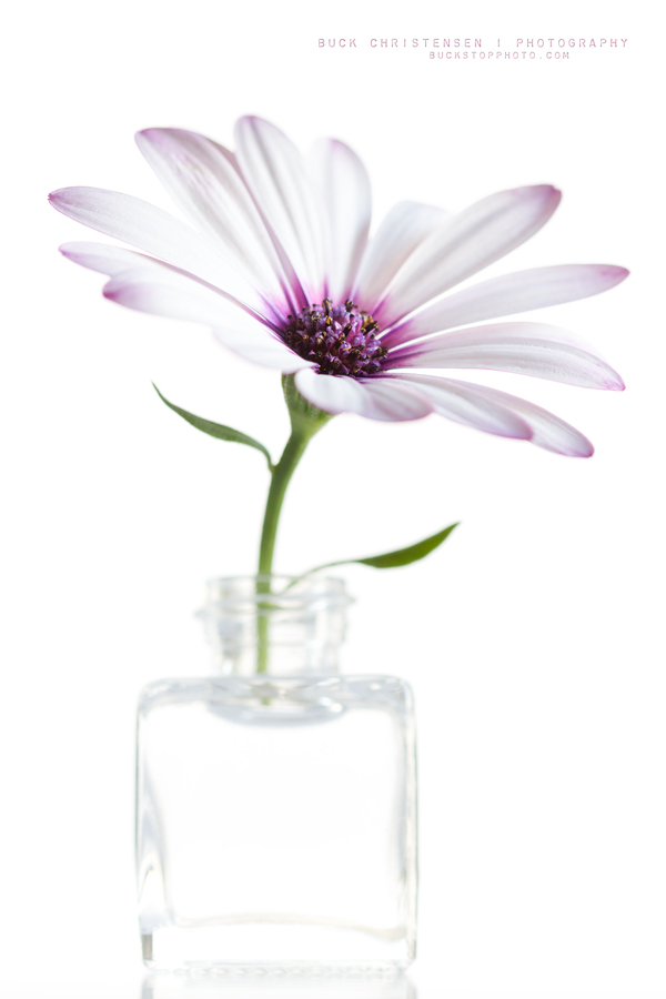 'singing to an empty room', osteospermum