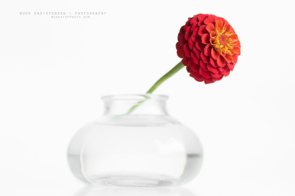 Zinnia in vase against a white background.